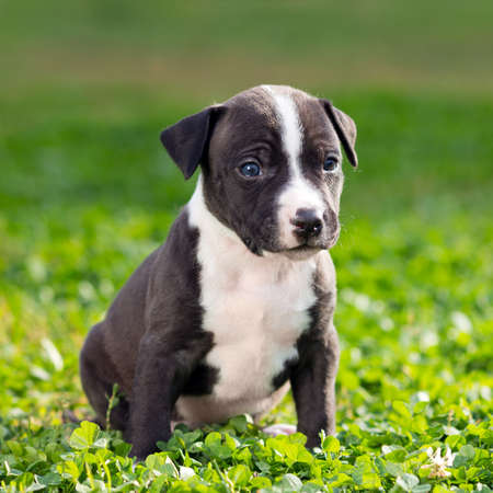 amstaff: American Staffordshire terrier puppy sitting on grass Stock Photo