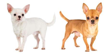 shorthaired: dos chihuahua de pelo corto sobre fondo blanco Foto de archivo
