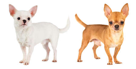 short hair dog: two short-haired chihuahua on white background Stock Photo