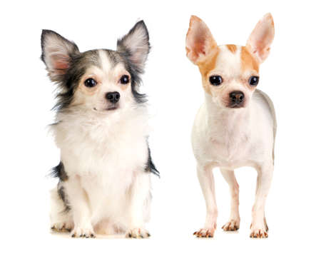 haired: long-haired and short-haired chihuahua on white background