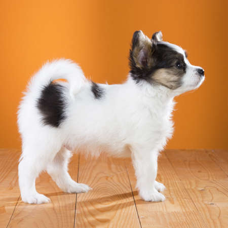Papillon Puppy standing on a orange background. Side view Stock Photo - 18140837