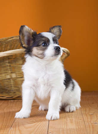 Papillon Puppy sitting near wicker basket on a orange background Stock Photo - 18678909
