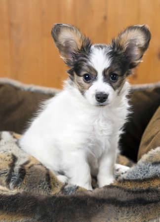 Papillon Puppy in bed on wooden background Stock Photo - 18678921