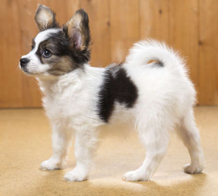 Papillon Puppy standing on floor on wooden background Stock Photo - 18678927