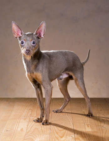 moscovian: Dog breed Russian Toy Terrier on a beige background Stock Photo