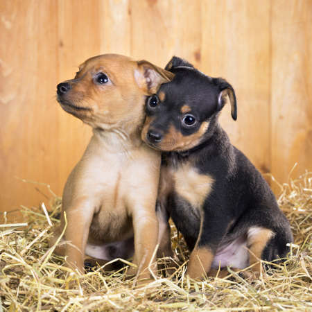 hay: Two Russian Toy Terrier puppies  on a straw on a background of wooden boards