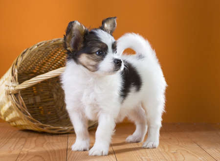 Papillon Puppy standing near wicker basket on a orange background Stock Photo - 19265471