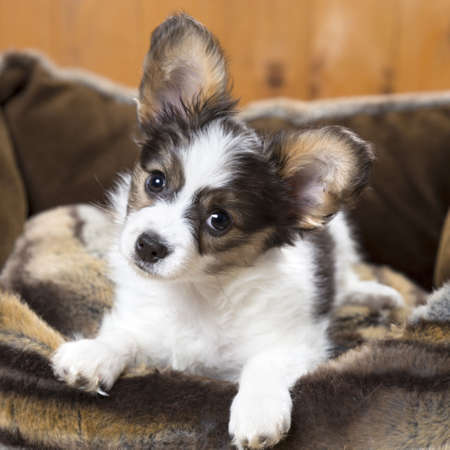 Papillon Puppy in bed on wooden background Stock Photo - 19421668