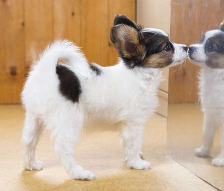 Little Papillon puppy saw his reflection in mirror