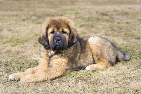 vigilant: Cute Puppy Tibetan Mastiff outdoors. Horizontal picture
