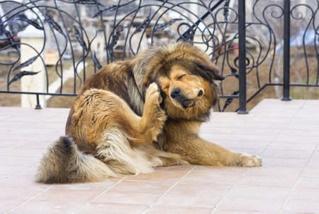 scratching: Tibetan Mastiff Dog Scratching Flea Stock Photo