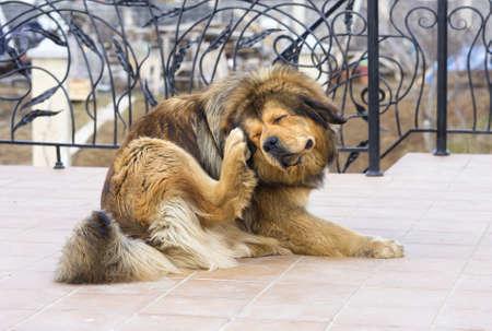 dog days: Tibetan Mastiff perro rascarse Flea