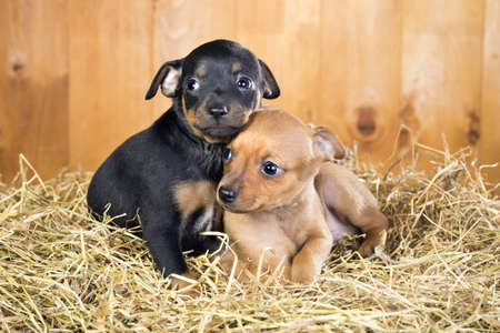 moscovian: Two Russian Toy Terrier puppies on a straw on a background of wooden boards Stock Photo