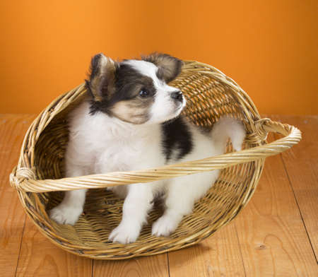 Papillon Puppy in wicker basket on a orange background Stock Photo - 19724273