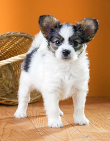 Papillon Puppy standing near wicker basket on a orange background Stock Photo - 19724253