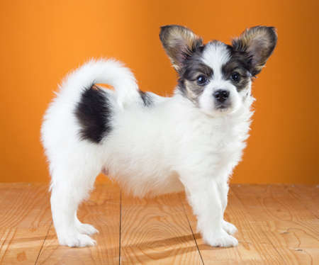 Papillon Puppy standing on a orange background Stock Photo - 19724296