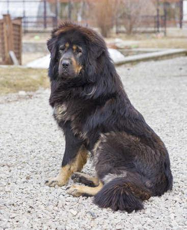 macadam: Dog breed Tibetan Mastiff  sits on a macadam