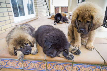 vigilant: Five Tibetan Mastiff puppies around a country house