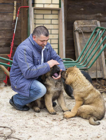 middle-aged man playing with puppies breed Tibetan Mastiff photo