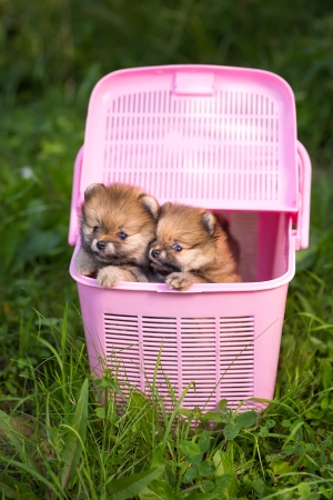Two Small Pomeranian Puppy In A Pink Crate Stock Photo Picture And