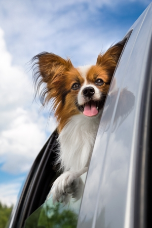 Dog poking his head out window of a car
