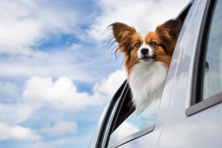Dog looking through the open car window 免版税图像