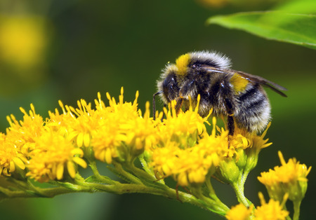 黄色い花にマルハナバチ (マルハナバチ pascuorum)