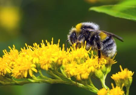 Bumblebee (Bombus pascuorum) sur une fleur jaune