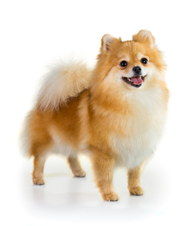 Portrait of a Pomeranian dog over white background