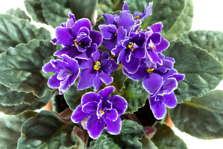 Flowers of African Violet aka Saintpaulia close up