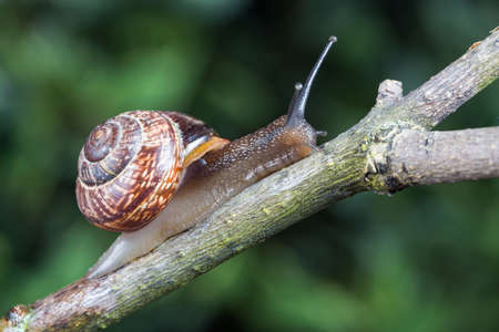 Little garden snail crawling on a branch