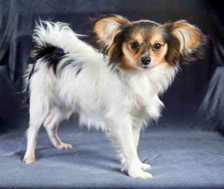 Popular Papillon Canine Adorable Dog - 66560921-cute-young-dog-of-the-continental-toy-spaniel-papillon  Snapshot_948685  .jpg?ver\u003d6