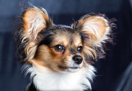 Popular Papillon Canine Adorable Dog - 69762930-cute-young-dog-of-the-continental-toy-spaniel-papillon  Snapshot_948685  .jpg?ver\u003d6