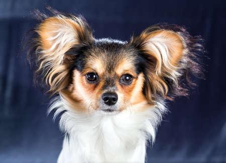 Popular Papillon Canine Adorable Dog - 69975913-portrait-of-a-dog-breed-papillon  Snapshot_948685  .jpg?ver\u003d6