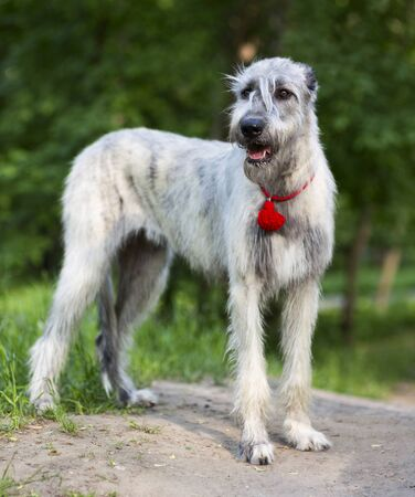 Portrait of a dog breed Irish Wolfhound in a summer nature park Stock Photo