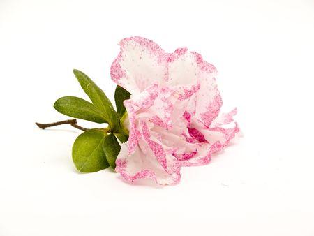 azalea flower photo