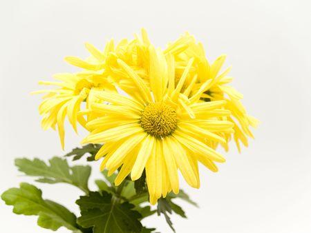 yellow daisies photo