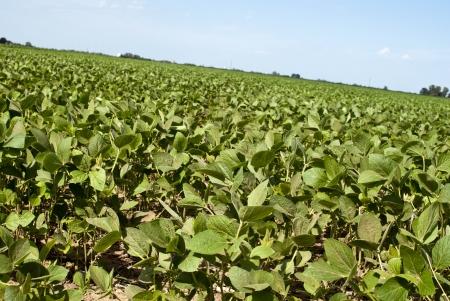 soybean crop Stock Photo - 17447154