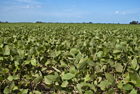 soybean crop  photo