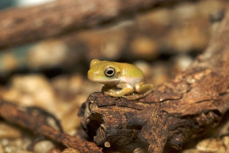 bulging:  young white-lipped green tree frog, australian, with long legs and bulging eyes