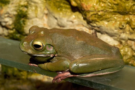 white-lipped green tree frog, australian, with long legs and bulging eyes photo