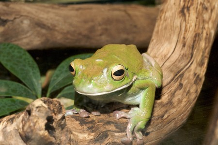 bulging: white-lipped green tree frog,australian, smooth skin with long legs and bulging eyes 9