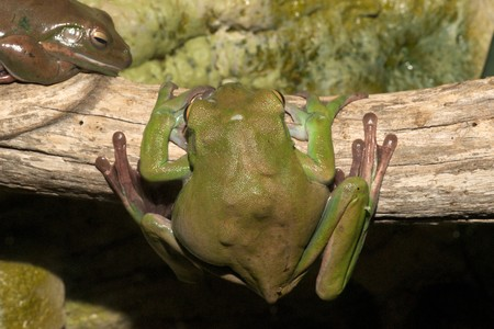white-lipped green tree frog,australian, smooth skin with long legs and bulging eyes 8 photo