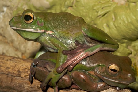 bulging: white-lipped green tree frog,australian, smooth skin with long legs and bulging eyes 6
