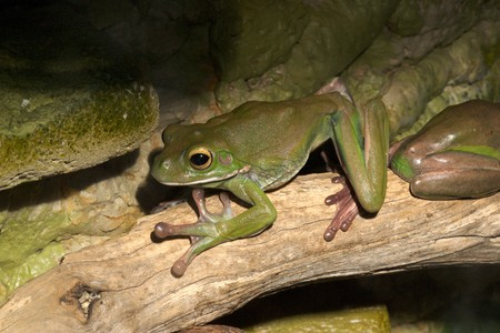 bulging: white-lipped green tree frog,australian, smooth skin with long legs and bulging eyes 5