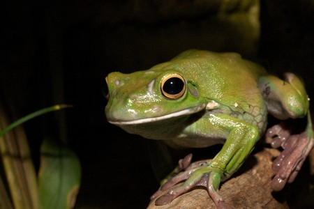 white-lipped green tree frog,australian, smooth skin with long legs and bulging eyes 2 photo