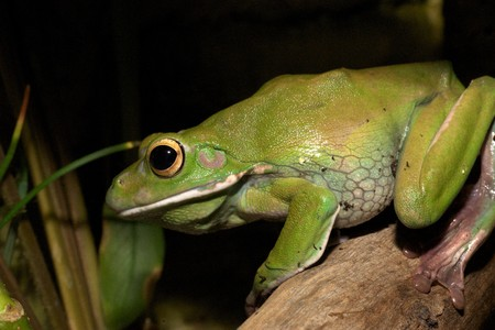 bulging: white-lipped green tree frog,australian, smooth skin with long legs and bulging eyes 1