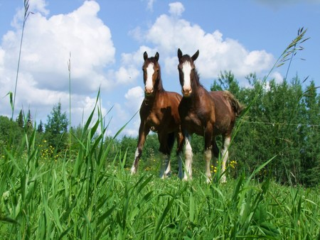 clydesdale: horse in field
