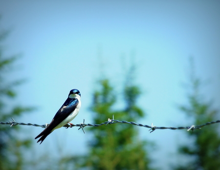 Tree swallow on Barbed Wire