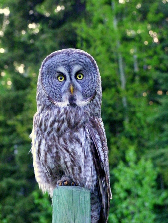 post: Grey Owl on Post